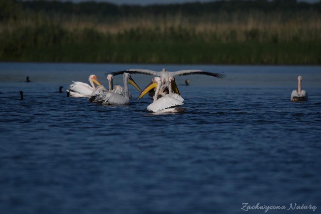 2 Gatunki pelikanów z Delty Dunaju - różowe i kędzierzawe (6)