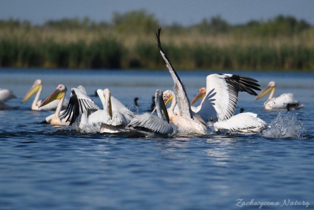 2 Gatunki pelikanów z Delty Dunaju - różowe i kędzierzawe (7)