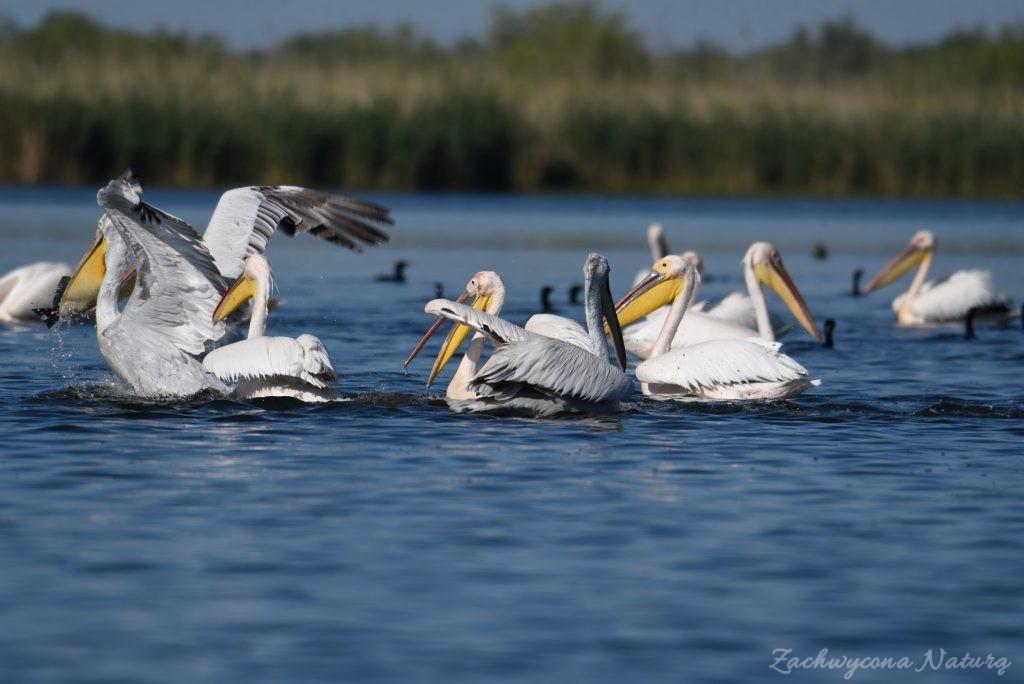 2 Gatunki pelikanów z Delty Dunaju - różowe i kędzierzawe (8)
