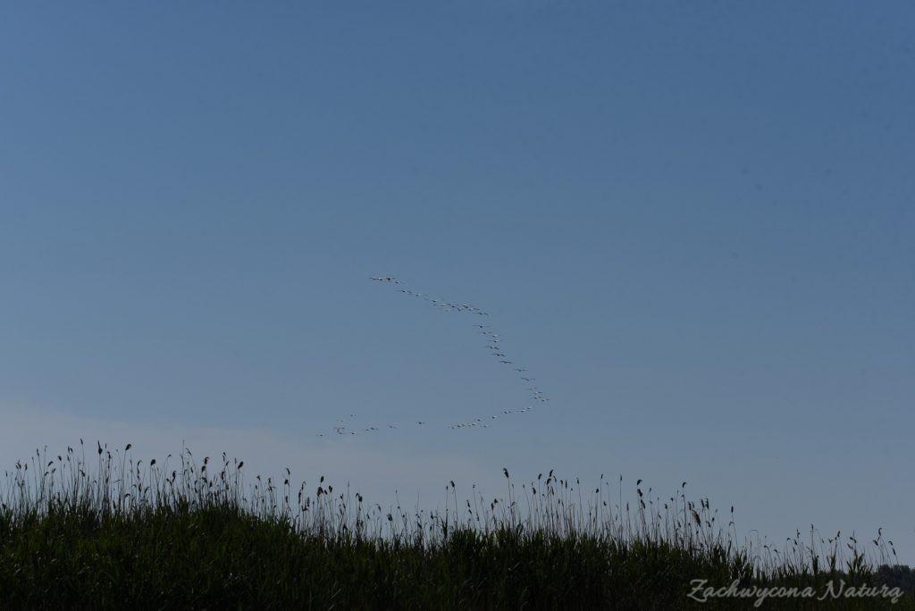 2 Gatunki pelikanów z Delty Dunaju - różowe i kędzierzawe (9)