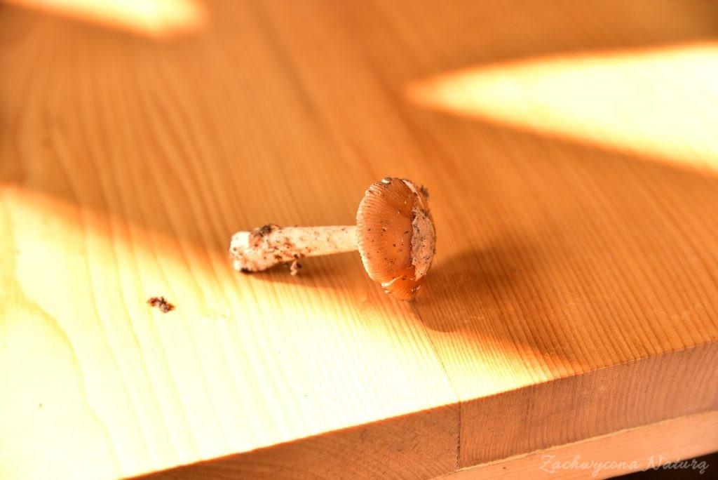 Jadalne muchomory (2)