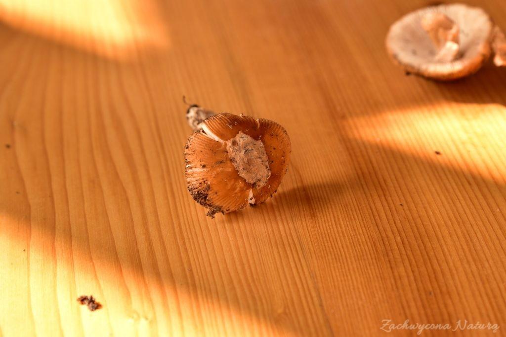 Jadalne muchomory (5)