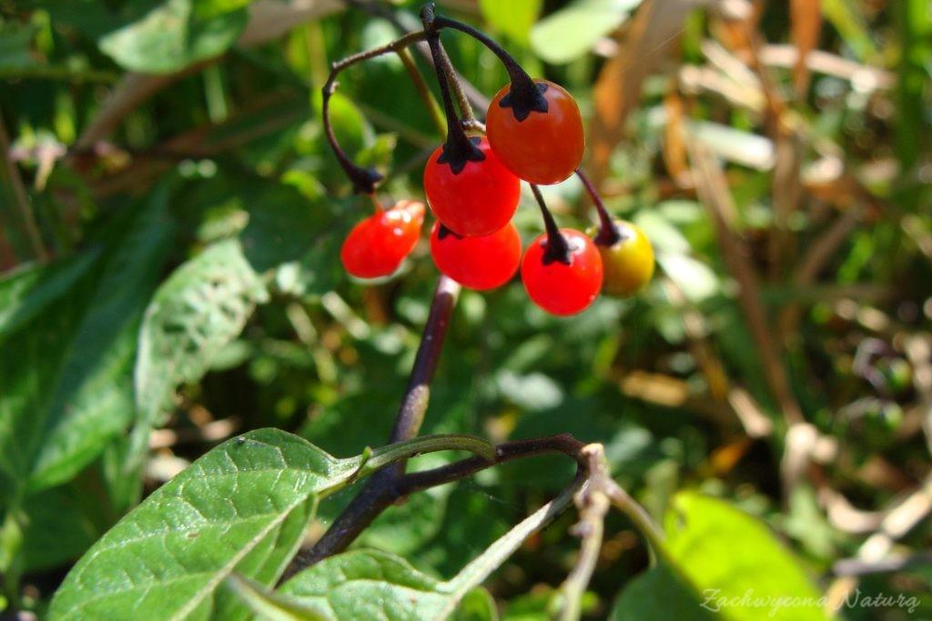 Owoce psianki słodkogórz