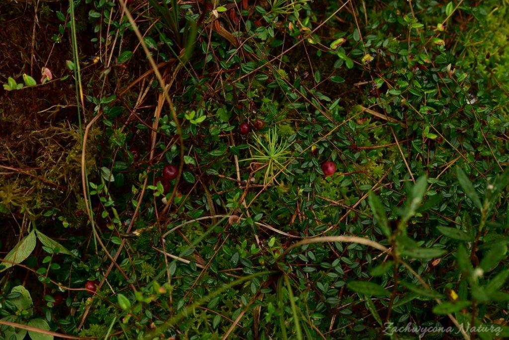 Tam, gdzie rośnie żurawina i halucynogenne bagno, gdzie grunt się chwieje pod nogami i nic nie jest oczywiste.. (5)
