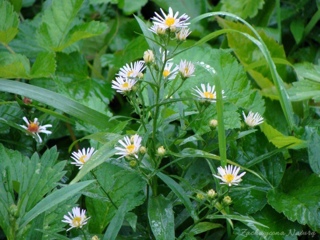 Przymiotno białe (Erigeron annuus)
