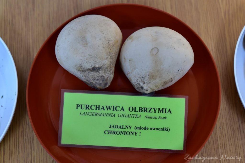 Wystawa grzybów w łódzkim Ogrodzie Botanicznym 2017 (10)