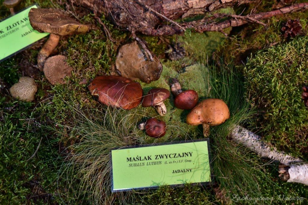 Wystawa grzybów w łódzkim Ogrodzie Botanicznym 2017 (100)