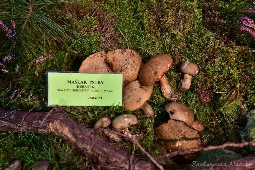 Wystawa grzybów w łódzkim Ogrodzie Botanicznym 2017 (101)