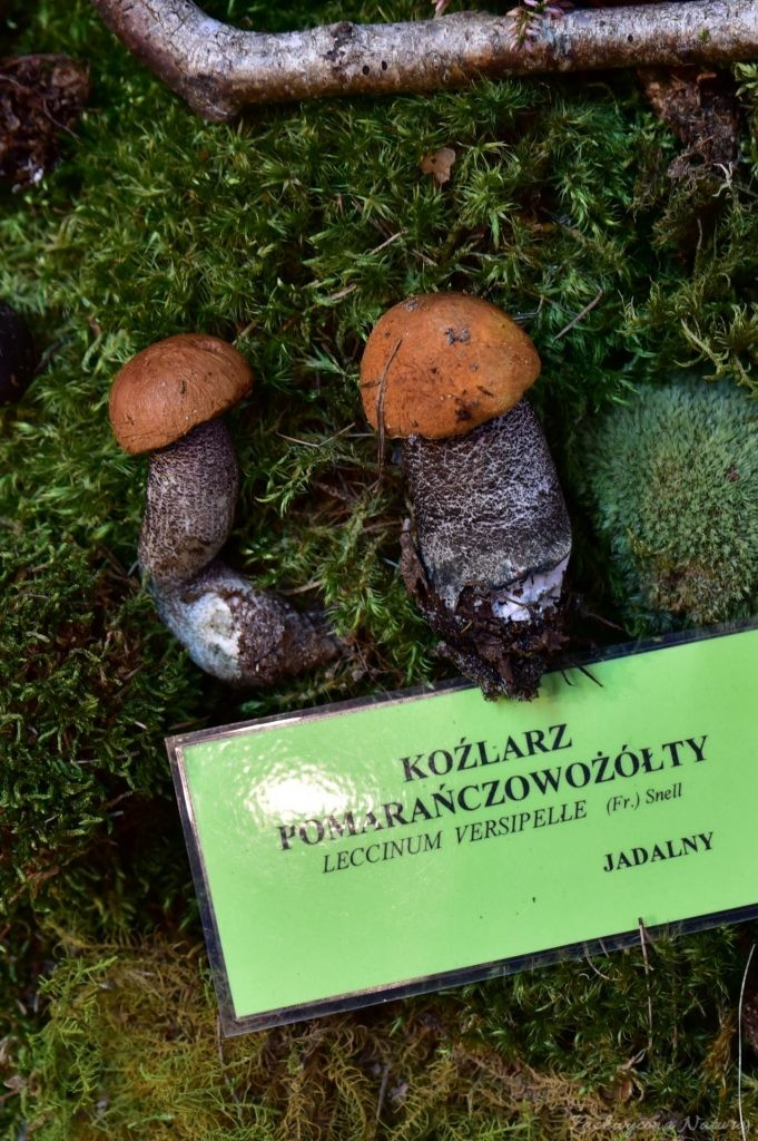 Wystawa grzybów w łódzkim Ogrodzie Botanicznym 2017 (105)