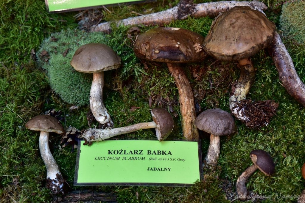 Wystawa grzybów w łódzkim Ogrodzie Botanicznym 2017 (106)