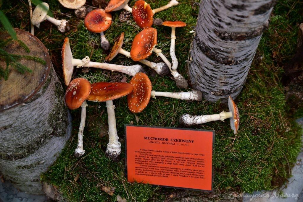 Wystawa grzybów w łódzkim Ogrodzie Botanicznym 2017 (111)