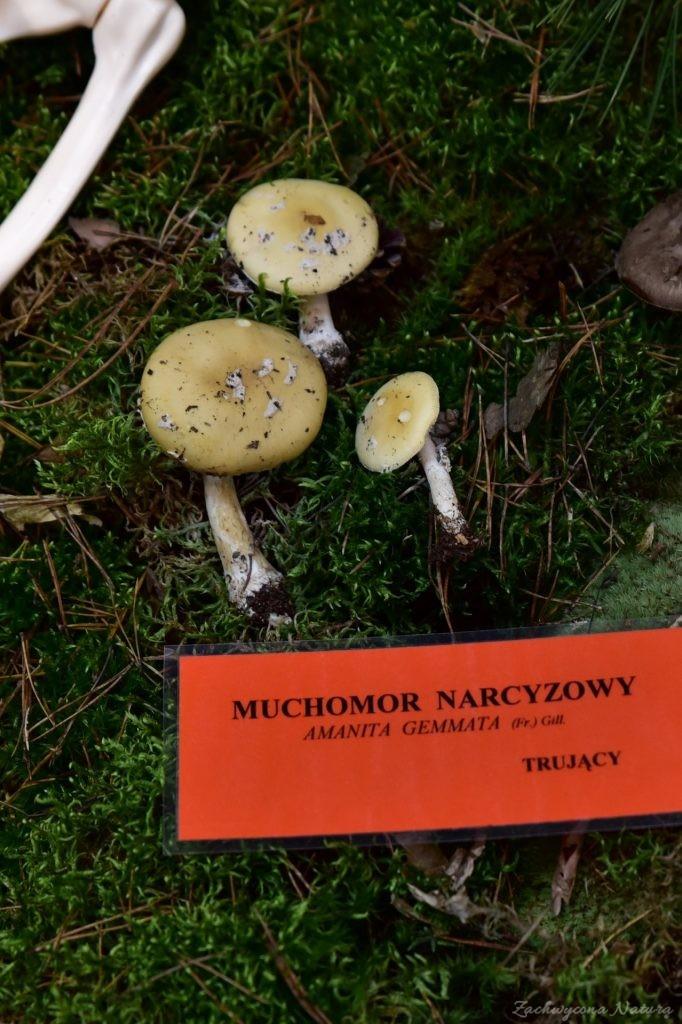 Wystawa grzybów w łódzkim Ogrodzie Botanicznym 2017 (113)