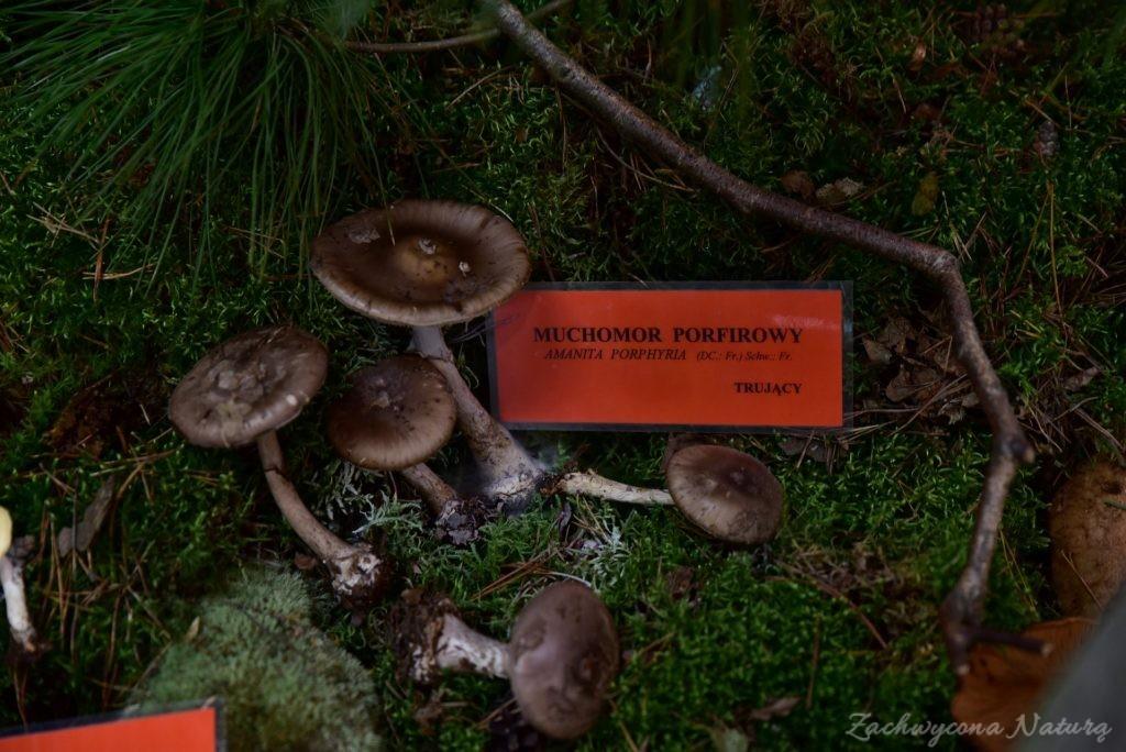 Wystawa grzybów w łódzkim Ogrodzie Botanicznym 2017 (114)