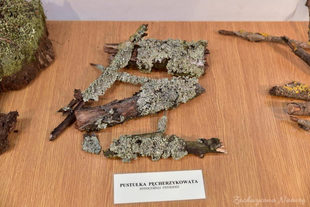 Wystawa grzybów w łódzkim Ogrodzie Botanicznym 2017 (117)
