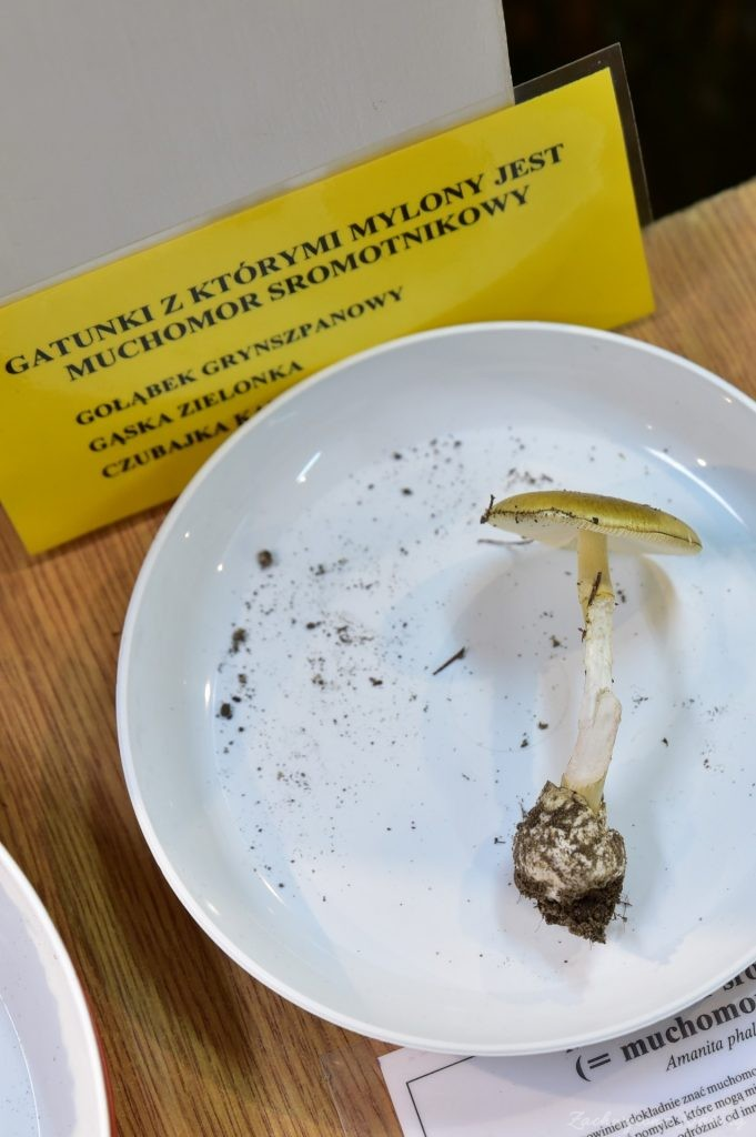 Wystawa grzybów w łódzkim Ogrodzie Botanicznym 2017 (123)