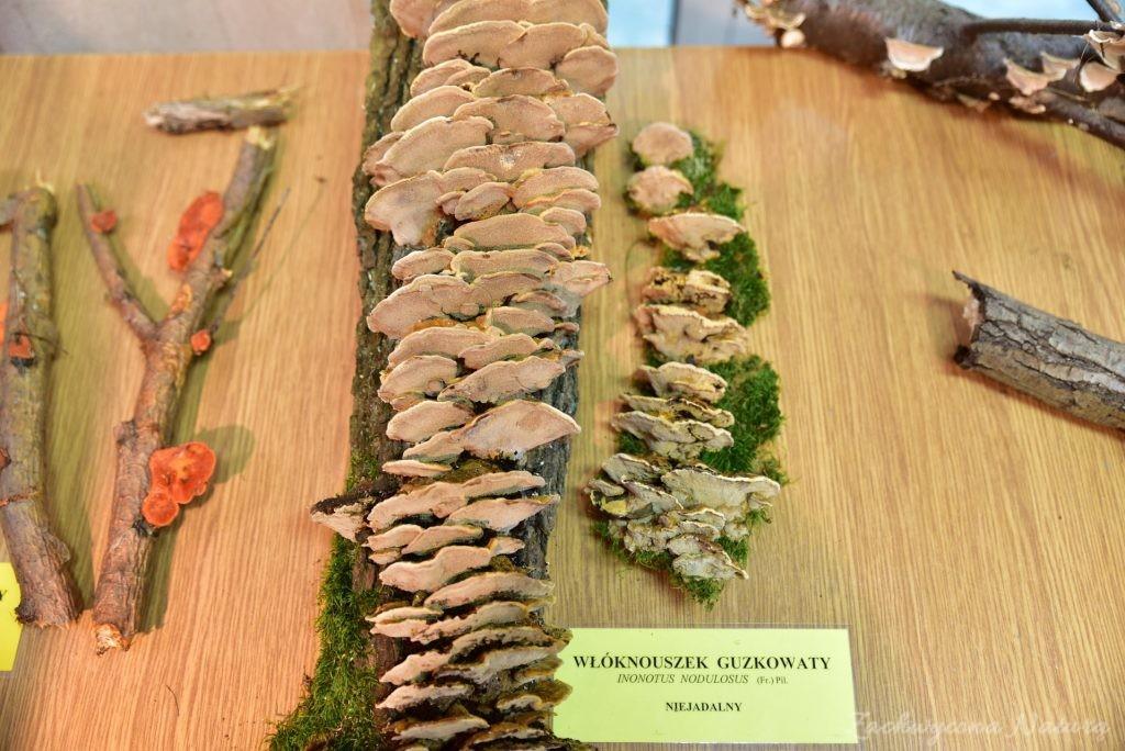 Wystawa grzybów w łódzkim Ogrodzie Botanicznym 2017 (24)