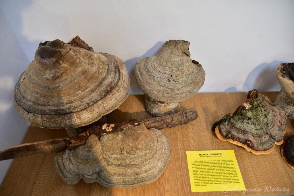 Wystawa grzybów w łódzkim Ogrodzie Botanicznym 2017 (36)
