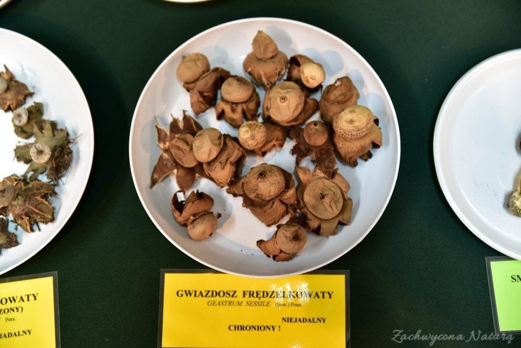 Wystawa grzybów w łódzkim Ogrodzie Botanicznym 2017 (43)