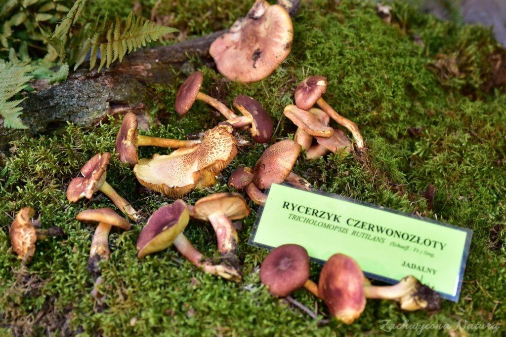Wystawa grzybów w łódzkim Ogrodzie Botanicznym 2017 (47)
