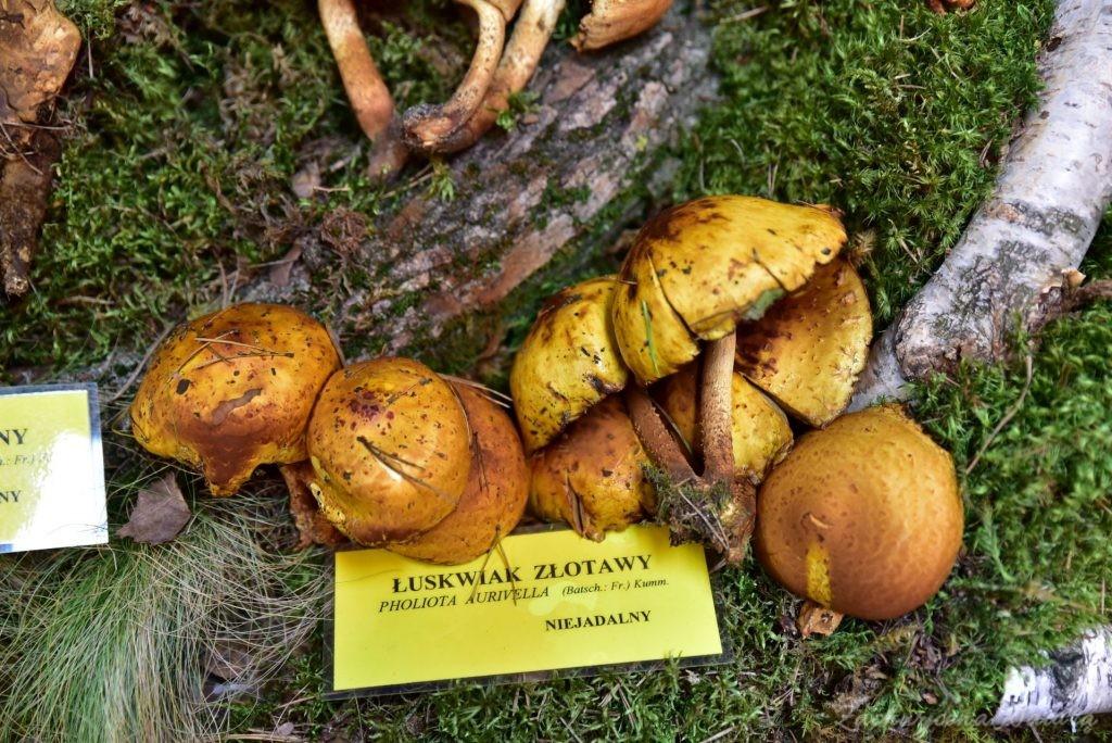 Wystawa grzybów w łódzkim Ogrodzie Botanicznym 2017 (53)