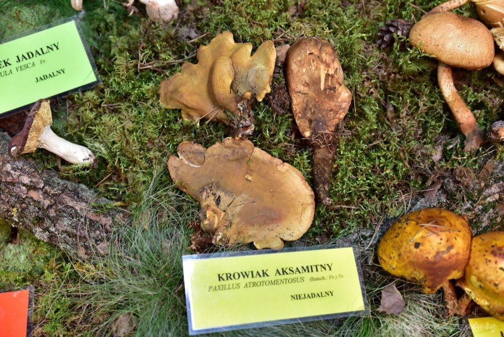 Wystawa grzybów w łódzkim Ogrodzie Botanicznym 2017 (54)
