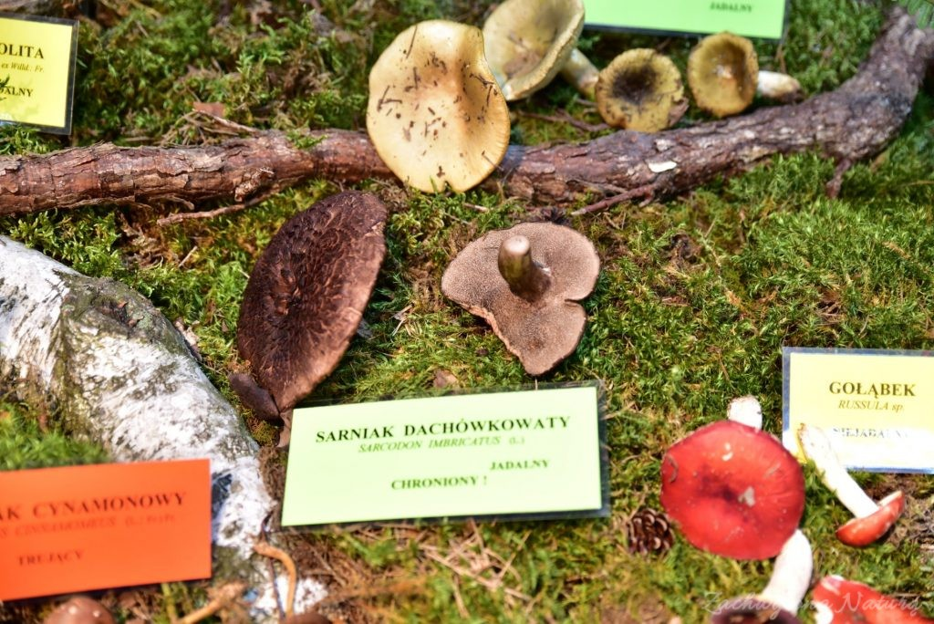 Wystawa grzybów w łódzkim Ogrodzie Botanicznym 2017 (63)