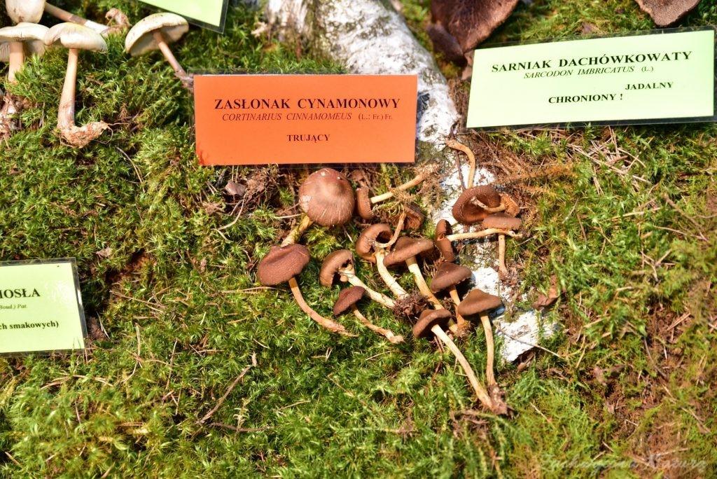 Wystawa grzybów w łódzkim Ogrodzie Botanicznym 2017 (64)