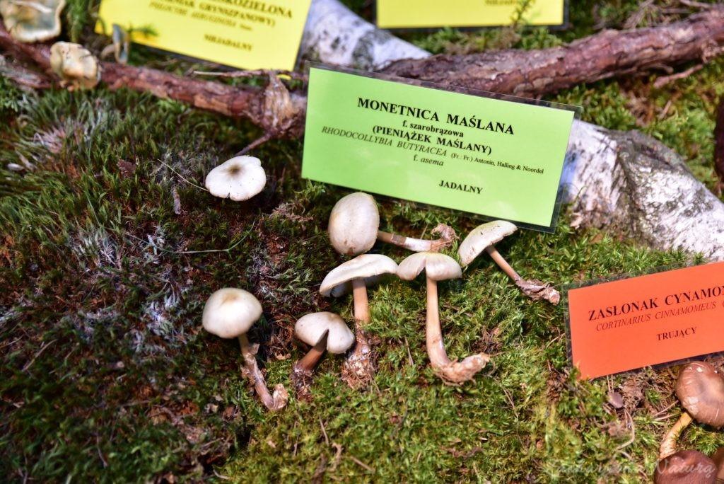 Wystawa grzybów w łódzkim Ogrodzie Botanicznym 2017 (66)