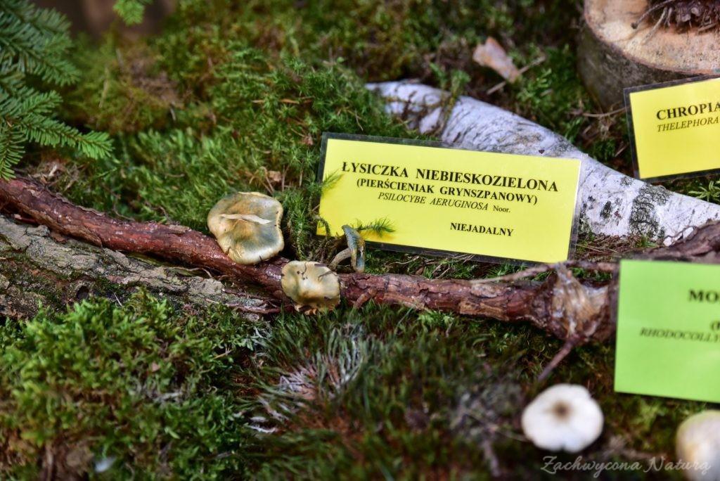 Wystawa grzybów w łódzkim Ogrodzie Botanicznym 2017 (68)