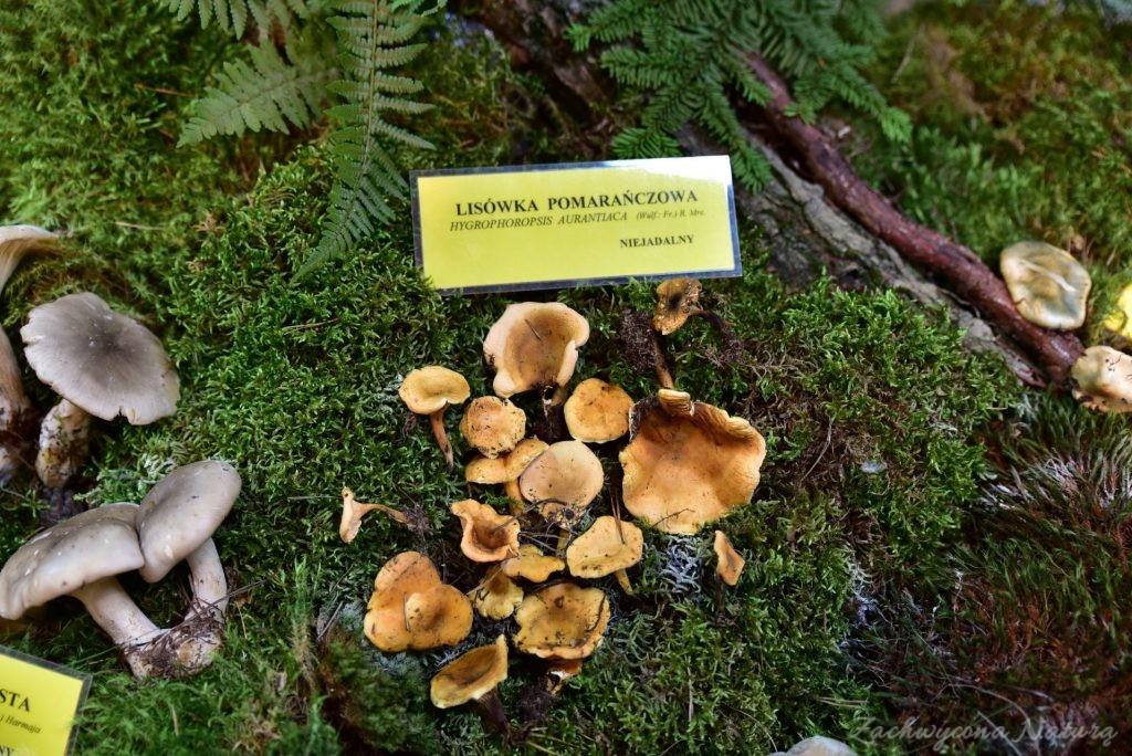 Wystawa grzybów w łódzkim Ogrodzie Botanicznym 2017 (70)
