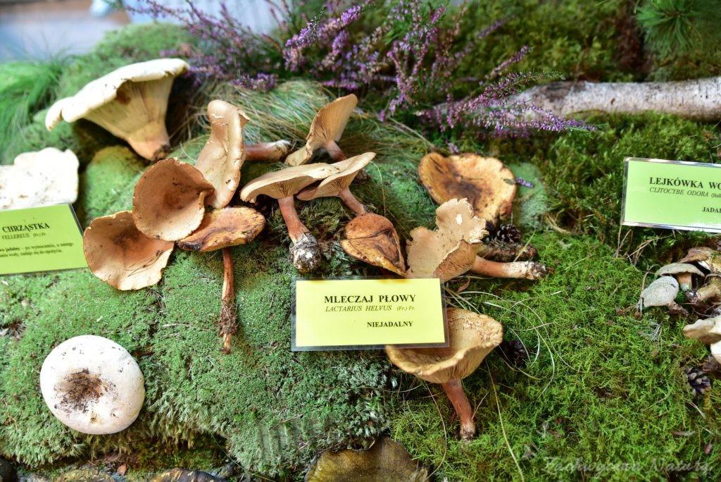 Wystawa grzybów w łódzkim Ogrodzie Botanicznym 2017 (77)
