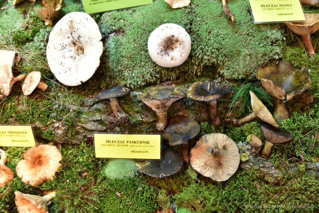 Wystawa grzybów w łódzkim Ogrodzie Botanicznym 2017 (78)