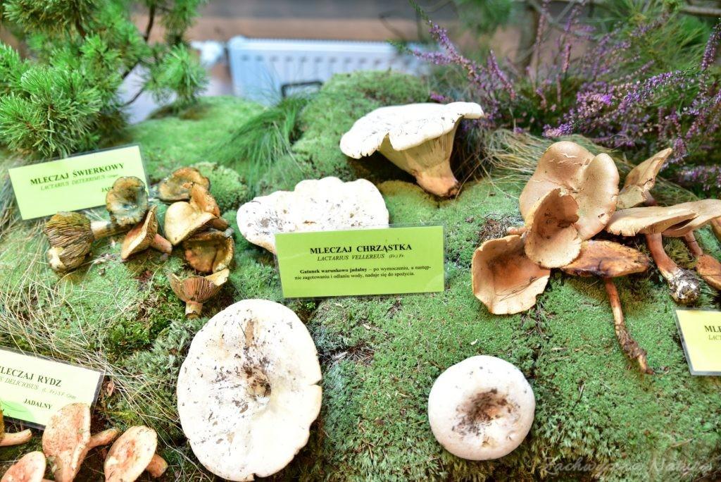 Wystawa grzybów w łódzkim Ogrodzie Botanicznym 2017 (79)