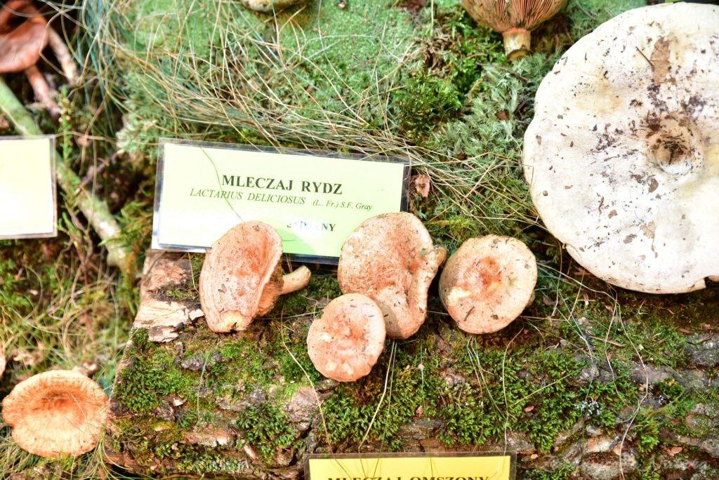 Wystawa grzybów w łódzkim Ogrodzie Botanicznym 2017 (81)