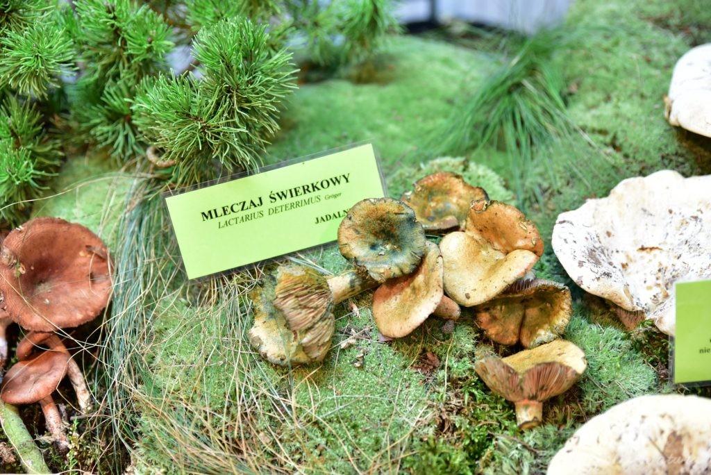Wystawa grzybów w łódzkim Ogrodzie Botanicznym 2017 (82)