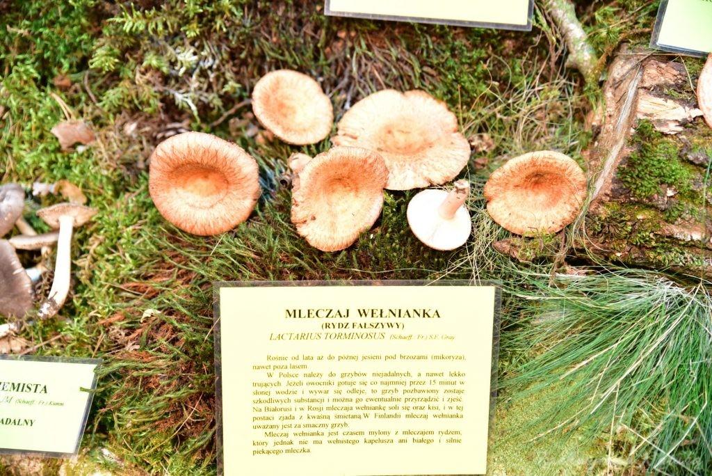 Wystawa grzybów w łódzkim Ogrodzie Botanicznym 2017 (83)