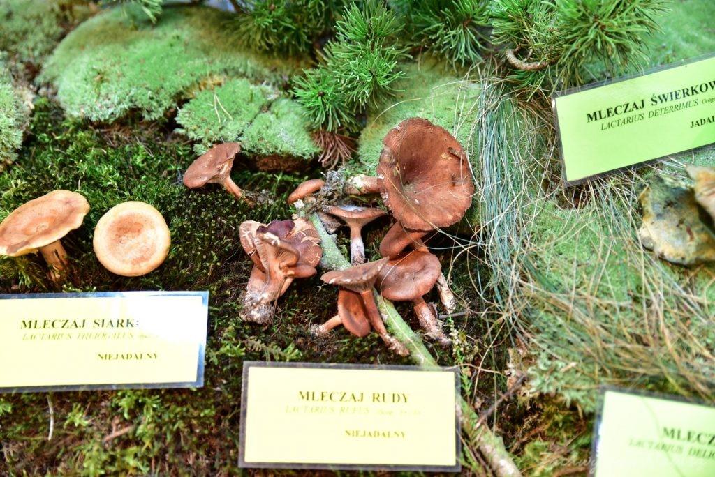 Wystawa grzybów w łódzkim Ogrodzie Botanicznym 2017 (84)
