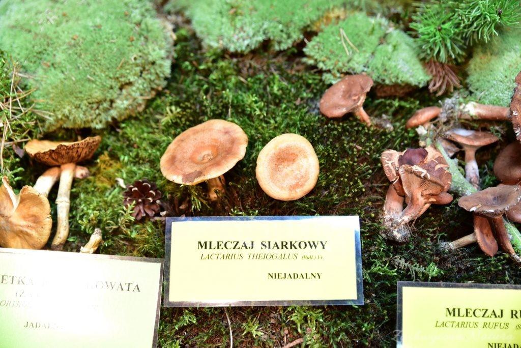 Wystawa grzybów w łódzkim Ogrodzie Botanicznym 2017 (85)