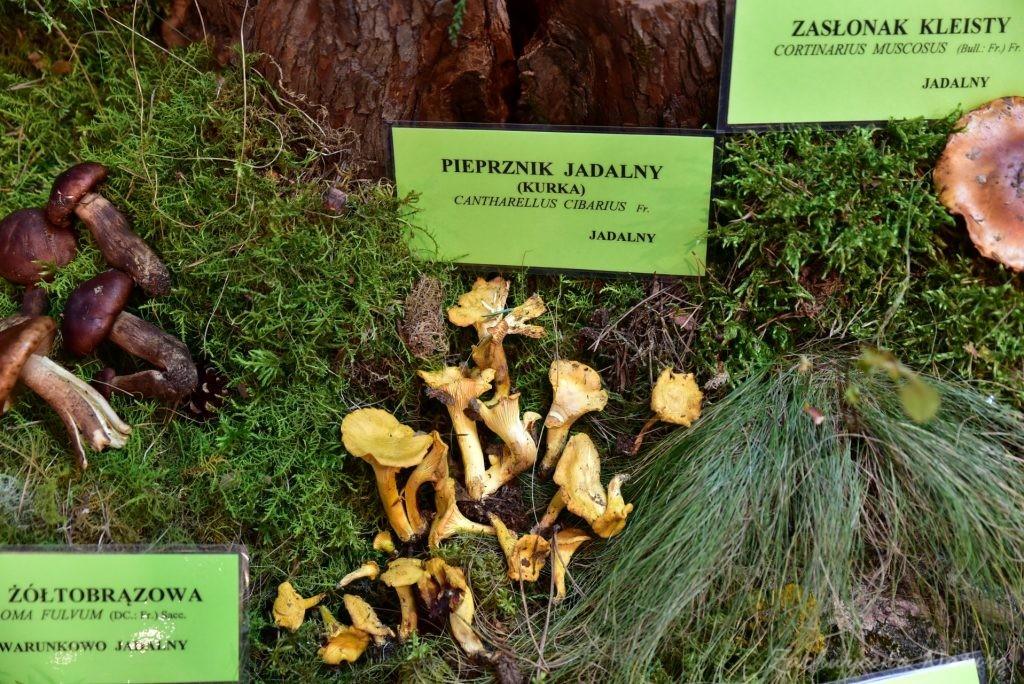 Wystawa grzybów w łódzkim Ogrodzie Botanicznym 2017 (91)