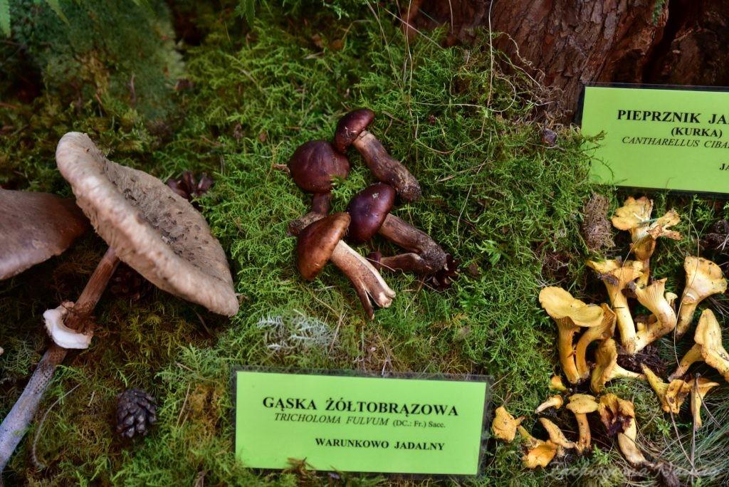 Wystawa grzybów w łódzkim Ogrodzie Botanicznym 2017 (93)