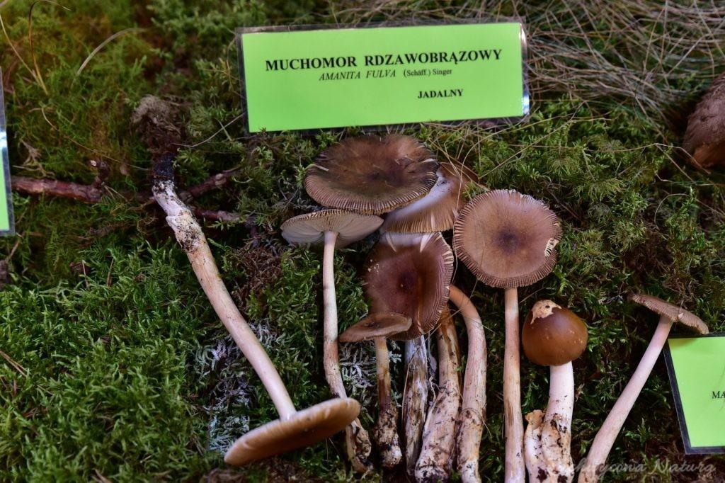 Wystawa grzybów w łódzkim Ogrodzie Botanicznym 2017 (96)