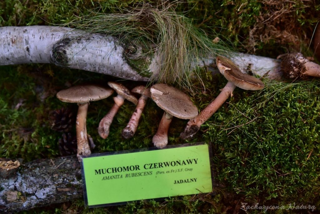 Wystawa grzybów w łódzkim Ogrodzie Botanicznym 2017 (97)