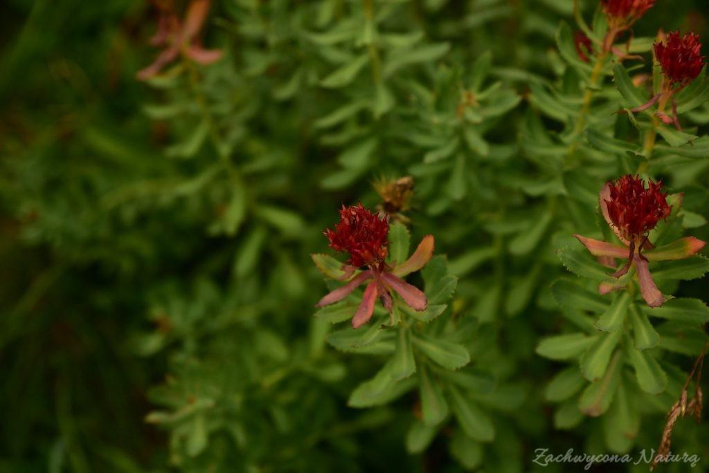 Różeniec górski – roślina adaptogenna, która rośnie także w Polskich górach