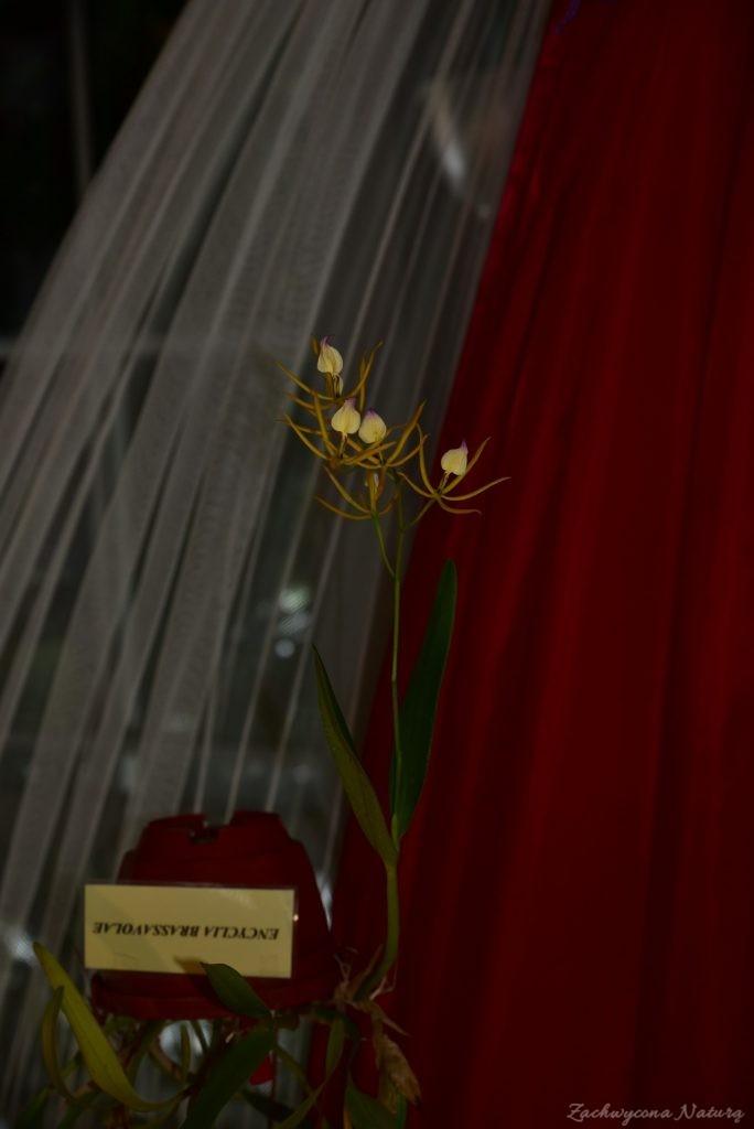 Wystawa storczyków w Łódzkiej Palmiarnii 2017 (19)