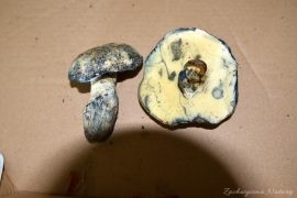 Piaskowiec modrzak (1)