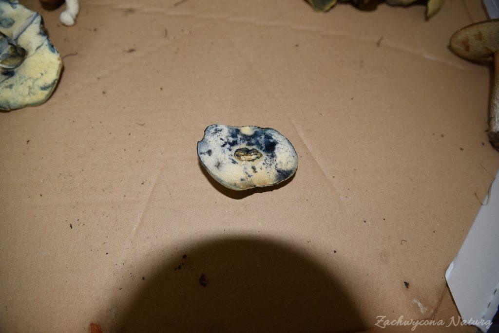 Piaskowiec modrzak (2)
