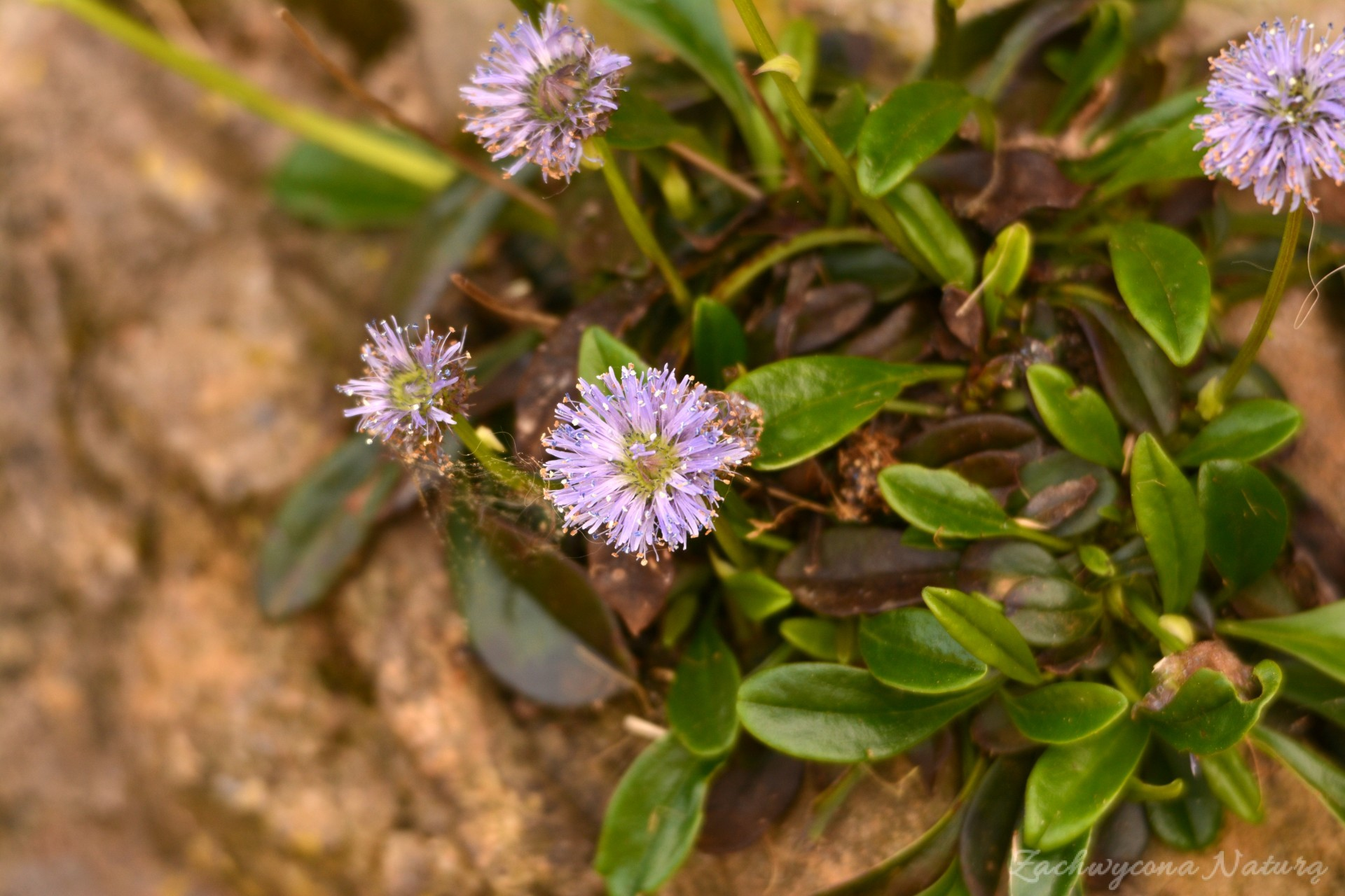 Rosliny Polnocnej Hiszpanii Zachwycona Natura