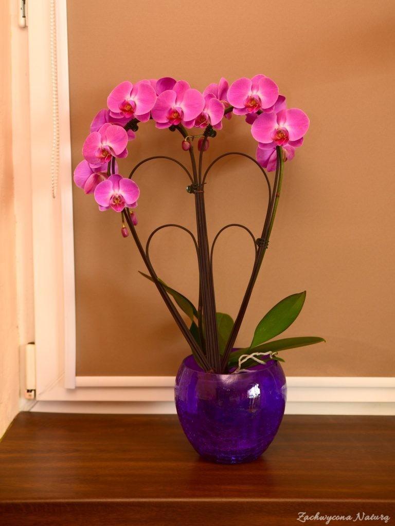 """Cameleon Orchids chyba """"atlantis"""""""